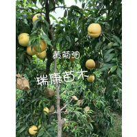 泰安瑞康苗木供应嫁接黄油桃树苗 黄菊油桃产量