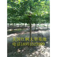 江苏米径8公分美国红枫价格报价500元每棵美国红枫小苗多少钱一棵