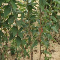 哪里有1公分的樱桃树苗价格多少 什么品种的樱桃树苗好 山东樱桃苗培育基地