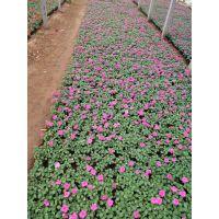 五一常用租摆花卉节日常用花卉基地一手供应地被小苗