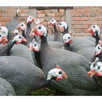 河北石家庄优质珍珠鸡苗、珍珠鸡市场价格、珍珠鸡市场批发