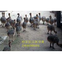 黑龙江鸵鸟养殖场、黑龙江鸵鸟养殖场、