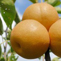 哪里有批发果树苗的 梨树苗批发市场在哪里 新梨七号梨树苗价格 丰水梨树苗产地