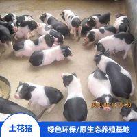 湖南宁乡土花猪野生猪肉宁乡猪苗精排瘦肉价格合理欢迎选购