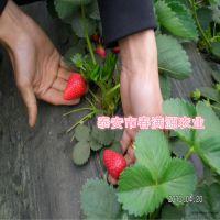 法兰地草莓苗要点