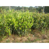 广东的红花大果油茶种植基地在哪里 油茶苗批发多少钱一株