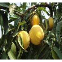 黄金蜜桃品种 早熟黄金蜜1号桃苗 晚熟黄金蜜3号桃树苗 黄金蜜4号桃苗价格