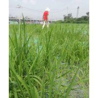 重庆公路边坡绿化常见草种狗牙根草籽哪里有卖
