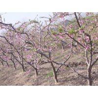 山东滨州博兴桃树苗基地 5公分桃树嫁接成苗批发价格