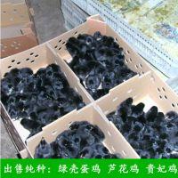 纯天然生态散养五黑鸡 华绿生态农业绿壳蛋鸡