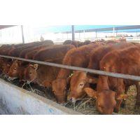 鲁西黄牛养殖场哪里有鲁西黄牛多少钱一头