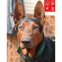 购买一只莱州红犬种犬哪里有多少钱