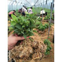 出售矮化樱桃砧木吉塞拉6号价格低廉 山东樱桃树苗种植批发基地