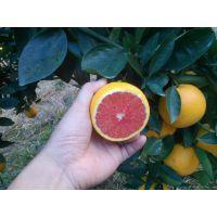 市场主流红肉脐橙品种卡拉卡拉