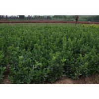 大叶黄杨基地 30公分40公分50公分高大叶黄杨便宜出售