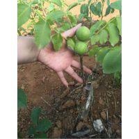 泰安瑞康苗木供应粗度0.5-5cm嫁接核桃树苗 8518核桃种苗