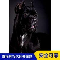 嘉祥县兴亿达幼年卡斯罗犬幼崽销售