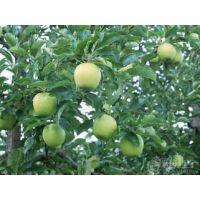 冷库红富士苹果批发价格现在多少 早熟藤木一马上上市销售