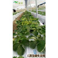 采摘新秀--草莓,露天或设施栽培,从化草莓定植缓苗管理要点