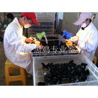 绿壳蛋鸡苗 湖北华绿生态农业三峡黑鸡 原生态养殖