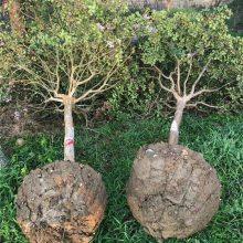 2018年地径10公分紫薇百日红价格多少钱一棵报价400元风景树紫薇小苗基地