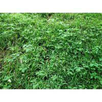 云南可以用在沙质土的固土护坡的绿化草籽批发