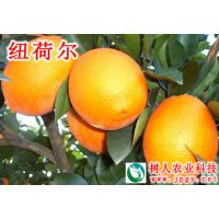 纽荷尔脐橙哪里有柑橘苗脐橙苗湖南树人公司供应