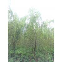 崇德园林垂柳10公分温江垂柳基地6-15公分出售截杆3年、以上一手货源