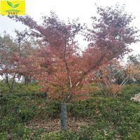 日本红枫树 5公分日本红枫价格