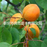 新世纪杏树苗 新世纪杏树苗价格 优质低价基地供应