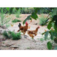生态散养土鸡