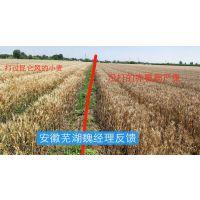 小麦赤霉病特效药昆仑风小麦抗病增产专用效果比芸乐收好