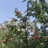 黄蜜樱桃苗价格 黄蜜樱桃苗基地供应 优质低价