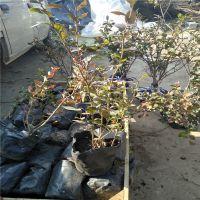 7年蓝莓苗 蓝莓土壤改良方法