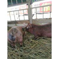 2017养猪行情预测,临湘市养殖走势,种猪品种转型,pic种猪备受青睐