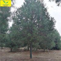 白皮松树价格规格齐全 树形饱满 质量优 3米4米5米泰山白皮松基地