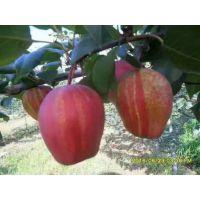 红酥脆梨苗新价格 红酥脆梨苗品种特点