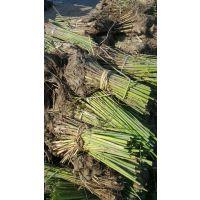 大量销售河北白洋淀境美水生植物种苗18833230022