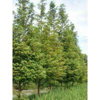 成都崇德园林精品水杉基地水杉低价格温江苗圃树型好存活率高一手货源