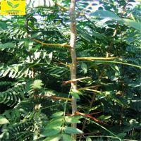 山东皂角苗 1公分皂角树苗 中药药材 刺多 规格齐全 本地货源 现挖现卖