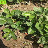 草莓苗价格 全明星 章姬 红颜 奶油草莓苗种植基地 品种齐全 现货