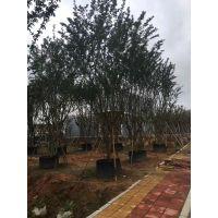 供应 福建 朴树 丛生 全冠 价格 产地