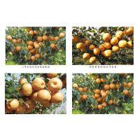 开金库尔勒香梨脆梨砀山梨金果梨种苗耐运输抗氧化