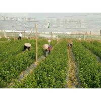河源2018年鑫鑫农业贡柑苗基地
