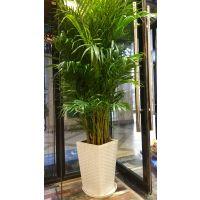 武汉大型绿植散尾葵盆栽,凤尾竹可净化空气制造湿气,可租摆,武汉送货上门