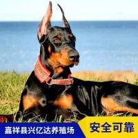 嘉祥县兴亿达优质杜宾犬幼苗养殖场价格