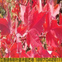 江西美国红枫红点红枫小苗 美国改良红枫树苗 夕阳红红枫街道树