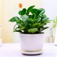 武汉小可爱绿植青叶碧玉电脑宝贝盆栽,豆瓣绿防辐射漂亮的绿植,武汉送货上门