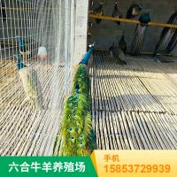 华旺孔雀养殖场 观赏孔雀苗 厂家报价