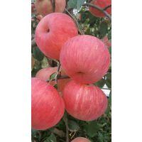 蜜脆苹果苗新价格 蜜脆苹果苗品种特点